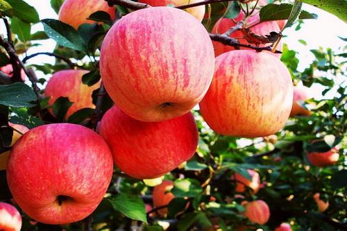 梦见苹果是什么意思啊|梦见苹果是什么意思