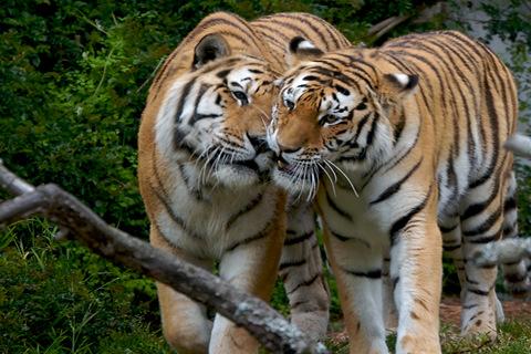 做梦梦见老虎是什么意思|梦见老虎是什么意思