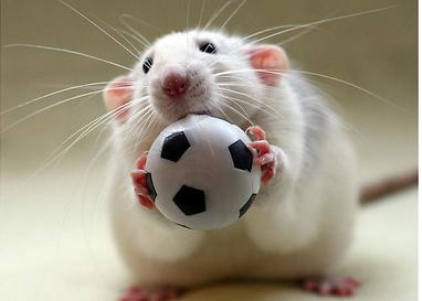 周公解梦梦见老鼠乱串_周公解梦:梦见老鼠