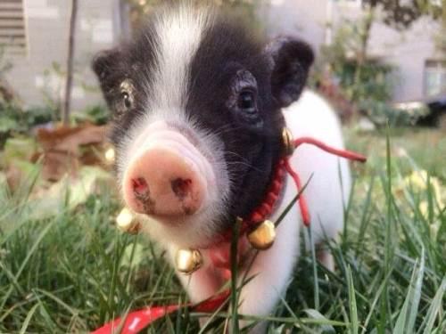 生肖豬:屬豬人的五行是怎麼樣的-好名字網