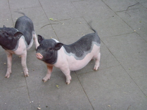 [1983年生肖猪的命运]生肖猪:1983年属猪人的运势