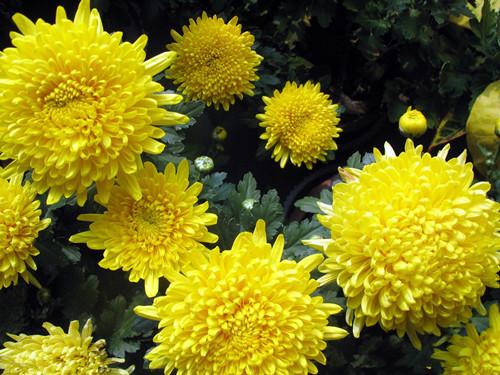 梦见摘菊花是什么意思_梦见黄色菊花,是什么预兆
