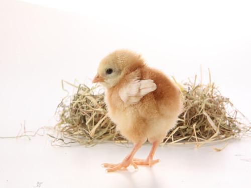 陈立农血型和生肖 生肖血型:2015年不同血型的属鸡人事业姻缘与性格