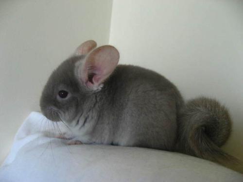 属鼠人和其他生肖的关系|生肖鼠:属鼠人的流年运程