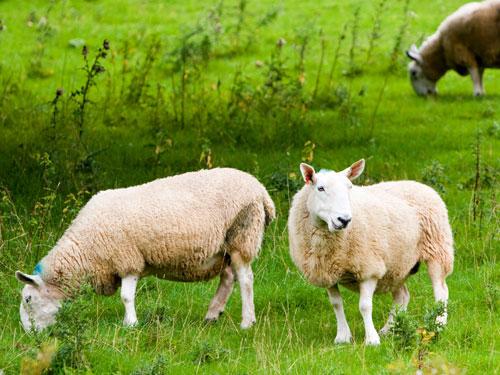 生肖羊不同身份职业的属羊人2015|生肖羊:不同身份职业的属羊人2016年运势
