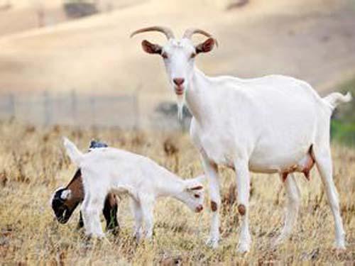 【羊宝宝取名大全】十二生肖取名之羊宝宝取名大全