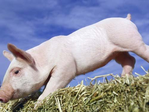 十二生肖取名用字宜忌_十二生肖取名之猪宝宝取名大全