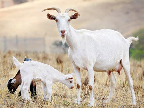 生肖羊处女座的属羊人是什么性格特点|生肖羊:处女座的属羊人是什么性格?