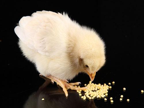 【生肖鸡白羊座的属鸡人是什么性格特点】生肖鸡:白羊座的属鸡人是什么性格?