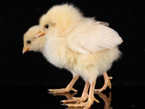生肖鸡处女座的属鸡人是什么性格特点|生肖鸡:处女座的属鸡人是什么性格?