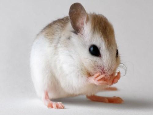 属鼠本周运势 本周鼠的运势(7.24-7.30)