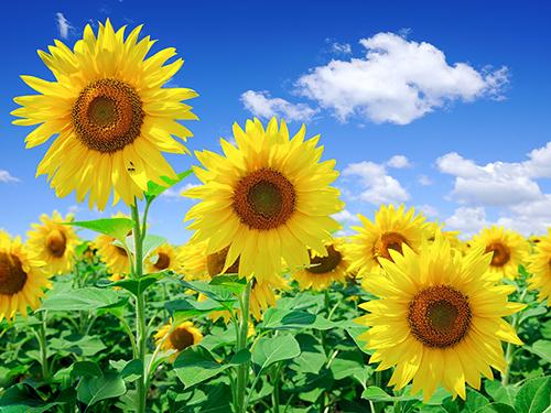 风水知识公司前台摆放向日葵适合吗